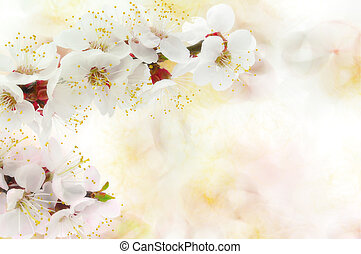 Apricot blossom isolated on a bokeh background.