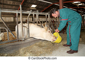 agricultor, alimentação, Vacas, celeiro