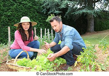 Couple picking lettuces in vegetable garden