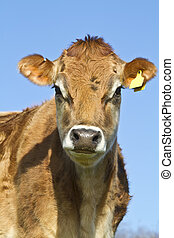 Portrait of a Jersey Cow - Close up head shot of a Jersey...
