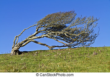 Windblown Hawthorn - Ancient lone hawthorn tree (Crataegus...