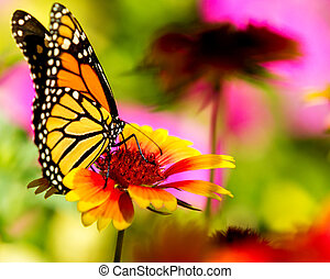 Monarch butterfly on a pretty flower - Very colorful image...