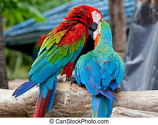 couple macaw - colorful couple macaw kissing in a tree