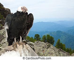 Andean condor in wildness area - Andean condor (Vultur...
