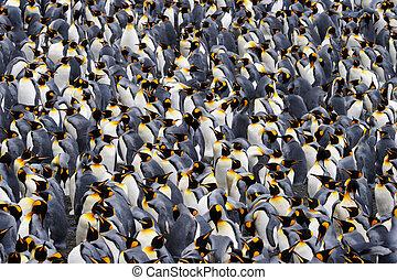 rey, pingüino, colonia