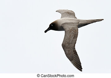 Light-mantled, sooty, Albatroz, voando
