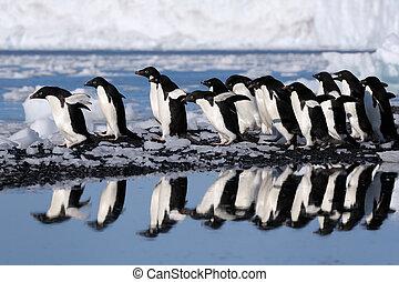 grupo, adelie, Pingüinos, yendo, agua