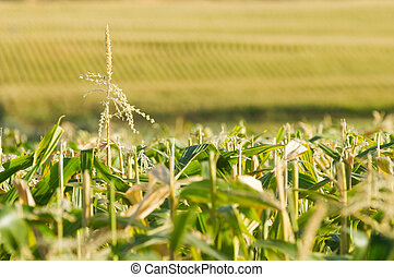 Endless view of the corn field - Rows of corn stretching as...