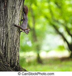 Closeup of a red squirrel (Sciurus vulgaris)
