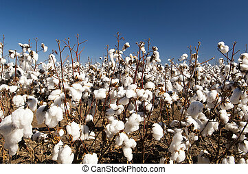 Cotton Fields - Cotton fields white with ripe cotton ready...