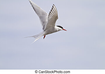Arctic Tern in flight - Arctic tern sterna paradisaea in...