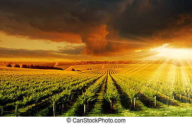Amazing Vineyard Sunset - A Beautiful Sunset over an...