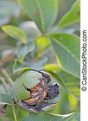 ripe Walnuts on tree
