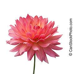 isolado, Cor-de-rosa, flor, branca, fundo