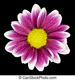 Purple Dahlia flower with yellow Center Isolated