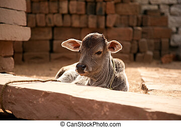 Indian white cow baby - Indian cow baby calf sitting in...