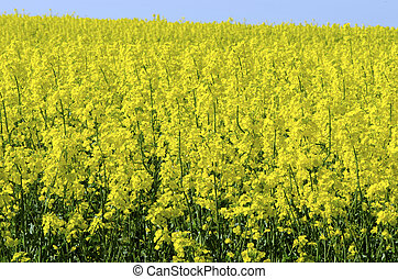 Background of vivid agricultural rapeseed field