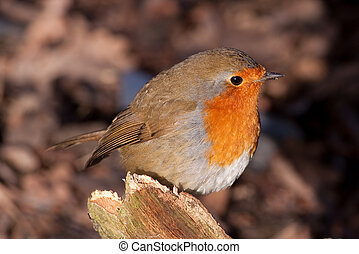 British Robin Erithacus rubecula perched on a tree in the...