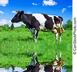 cow grazing in a field near the river - Dairy cows grazing...