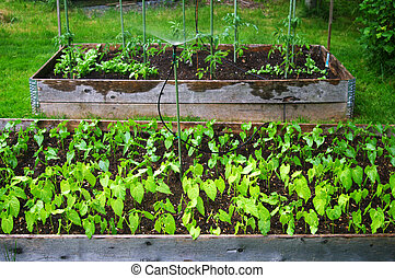 Watering an Urban Garden - Two raised beds of beans and...
