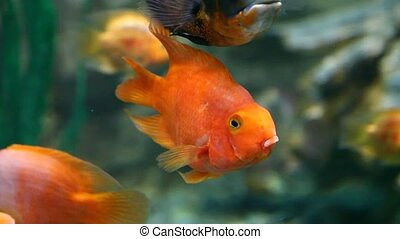 Goldfish - Close-up of goldfish