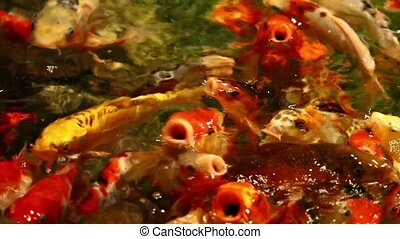 Big goldfish closeup in a pond