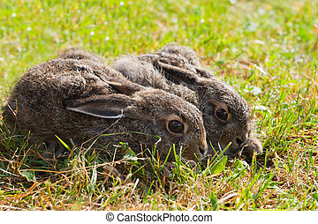 Two brown hares on the meadow