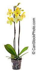 amarillo, orquídea, maceta, aislado, blanco