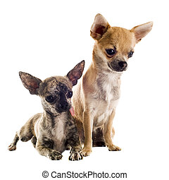 puppies chihuahuas - portrait of a cute purebred puppies...