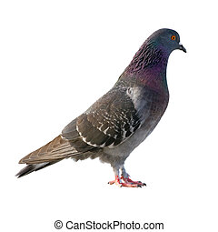 Pigeon. Isolated on white background.