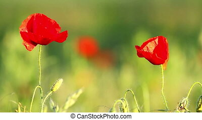 Poppy flowers in sunset light