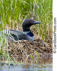 Nesting Common Loon - Common Loon on a Minnesota Lake