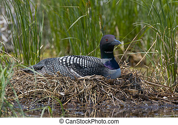Nesting Common Loon - Nesting Loon on a Central Minnesota...