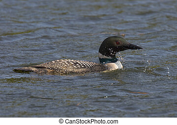 Swimming Common Loon on a Central Minnesota Lake
