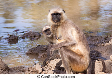 Mother and Baby Grey Langur Monkey - Mother and baby Indian...