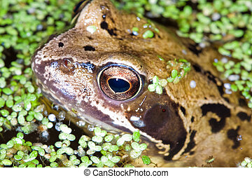 Close up of a Common Frog