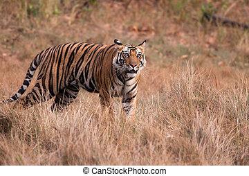 Bengal Tiger (Panthera tigra) - Standing male Bengal Tiger...