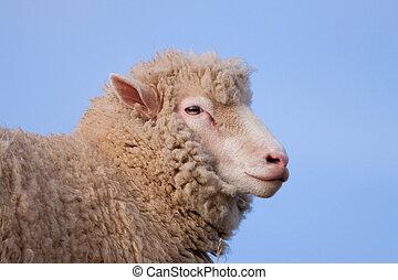 Poll Dorset Sheep - Profile of a Poll Dorset Sheep, a rare...