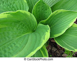 Natures funnel - Leaves of a hosta make a funnel water...