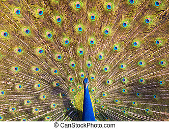 Peacock Displaying - A beautiful wild Indian peacock...