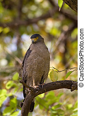 Serpent Eagle sitting watchfully on a branch . India.