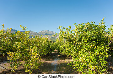 Irrigating a lemon plantation