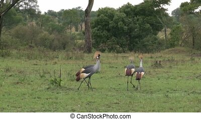Crested Crown-Crane - Four Crested Crown-Cranes in courtship