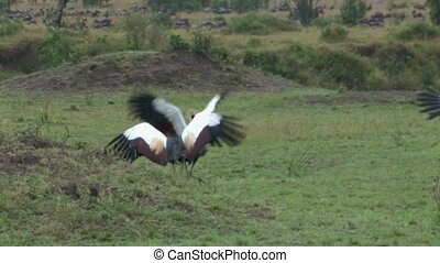 Crested Crown-Crane - Crested Crow-Cranes fighting in...
