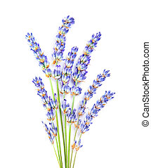 Lavender flowers, little posy of aromatic medicinal herb,...