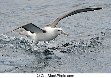Shy Albatross landing on water
