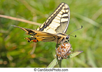 Beautiful Yellow Tiger Swallowtail Butterfly sitting on the flower