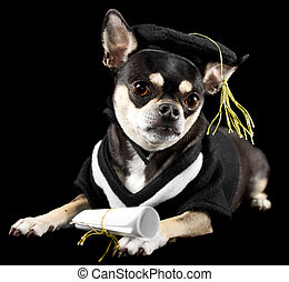 Graduation Dog - Cute chihuahua in cap and gown for...