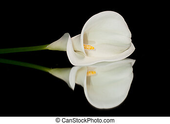 White Calla Lilly - Single white calla lilly isolated on...
