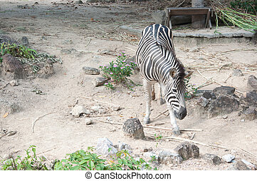Common Zebra Burchells Zebra - Equus burchellii